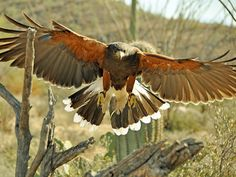 Harris' hawks are the largest birds to live in saguaros. They make nests on the outsides of the cacti.