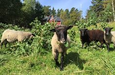 Sheep at the archipelago. Traditional Finnish Kainuunharmas sheep