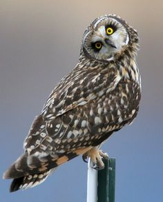 Short-Eared Owl  (an owl that is active during the day) (have seen this in Avon, NY and also in Hawaii, on the island of Kauai)