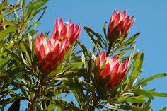 Proteas, taken near Botnebok Nat Res, Swellendam