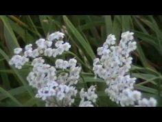 Planta Medicinal Milenrama ( Achillea millefolium L. ) | Avicena | Red Social De Fitoterápia Y Terapias Alternativas