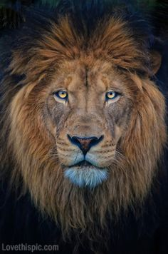 I want this exact lion as a tattoo. He is so beautiful. The definition of strength, courage and of course the astrological sign, Leo.