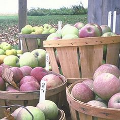 Apple Storage Success Secrets: optimal temperature 30-32°F—just 10° warmer, & they'll ripen twice as fast. Line storage containers w/ perforated plastic liners to help prevent the apples from drying out. Make your own humidifier by hanging burlap w/ ends dipped in pan of water.