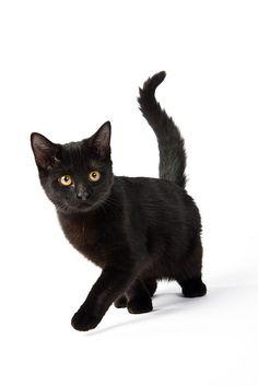 black cat love them Cute Black Kitten, All Black Cat, Black Cats, Cute Kittens, Cats And Kittens, Ragdoll Kittens, Tabby Cats, Bengal Cats, Kittens Playing
