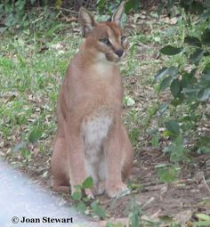 Caracal  The caracal is also commonly known as the Persian Lynx or African Lynx despite the fact that the caracal is not a lynx at all. The caracal is thought to be most closely related to the African golden cat and the serval.