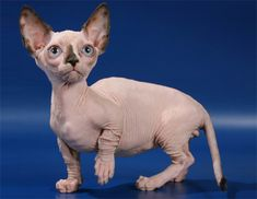 The cats listed in this article lacks in the common characteristic that is fur. These are the hairless cat breeds which actually have very short fluffy hair Gatos Devon Rex, Devon Rex Cats, Devon Rex Katzen, Gato Munchkin, Chicken Cat, Raw Chicken, Bambino Cat, Sphinx Cat, Foster Kittens