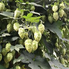 Mosaic Hops at Perrault Farms in Yakima. Luke is over there at the moment to select the best possible hops. @ychhops @selecthops  #hops #hopharvest #hopselection #yakima #yakimahops #ushops #epic #epicbeer #needmorehops
