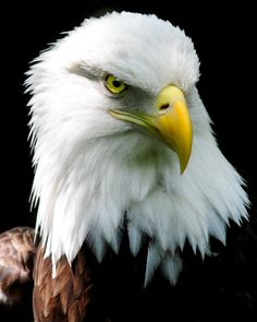 Akron Zoo. Nikon D300- Most amazing Bald Eagle shot I have ever seen - wow