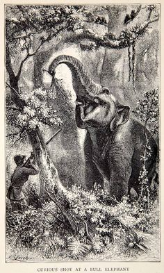 1902 Wood Engraving Bull Elephant Jungle Sri Lanka Zwecker Explorer Art Gun Tree #vintage #elephants