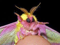 Este animal colorido é uma mariposa da espécie Dryocampa rubicunda, que pode ser encontrada na América do Norte Foto: The Grosby Group