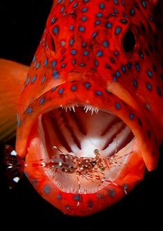 Coral Trout and Cleaning Shrimp