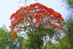 Royal poinciana's brilliant blossoms inspired its common names.