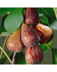 """Ficus """"Brown Turkey"""" Fig Tree plant cold hardy--just potted one up today. Ficus, Exotic Fruit, Tropical Fruits, Fruit And Veg, Fruits And Vegetables, Fig Fruit, Dried Fruit, Dried Figs, Fresh Figs"""