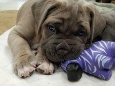 Pridenjoyz Cane Corso- Qbert 4 weeks old Cane Corso Dog, French Bulldog, Meet, Puppies, Dogs, Animals, Cubs, Animales, Animaux