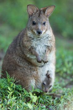 ~~Parma Wallabys (Macropus Parma) by Joel Sartore~~