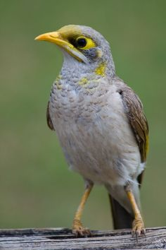 The Yellow-throated Miner (Manorina flavigula) is a species of honeyeater, native to Australia./PeterNijehnuis