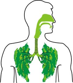 9 best herbs for lungs.  ByDr. Edward F. Group Your respiratory system is constantly working. All day, every day, it is the vehicle for oxygen to enter your body. Unfortunately, it can also be an entry point for pollutants, irritants, dust, mould, fungus, harmful organisms, and other toxins. Unless you're living in a bubble, the constant assault from impurities can …