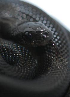 Elaphe obsoleta, a. the black rat snake, a non-venomous colubrid species found in North America. Mexican Black Kingsnake, Reptiles Et Amphibiens, Black Mamba Snake, Animals And Pets, Cute Animals, Exotic Animals, Black Rat, Rat Snake, Beautiful Snakes