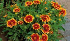 Bilde av STAUDEKOKARDE 'KOBOLD' Planters, Garden, September, Pictures, Garten, Lawn And Garden, Gardens, Plant, Window Boxes