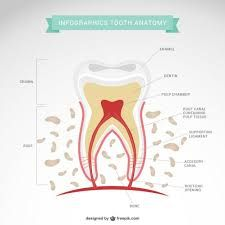 #tooth #anatomy
