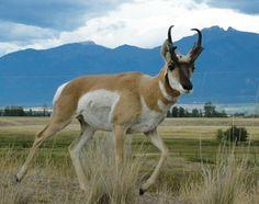 Du lịch Mỹ - Khi mùa thu đến, hàng triệu thợ săn toàn nước Mỹ bắt đầu chuyến đi săn thú rừng, tất nhiên là có giấy phép hợp lệ. Tiểu bang Wyoming, nơi chúng tôi đang ở là quê hương của rất nhiều loài thú lớn như bò rừng bison, sói, sư tử núi, dê núi Rocky Mountain và cừu hoang bighorn. Săn bắn đặc biệt quan trọng đối với nền văn hóa miền Tây và miền Nam nước Mỹ. Năm nay, chúng tôi xin các giấy phép để săn linh dương, nai và nai sừng tấm.