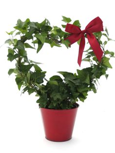 6 Valentine Fresh English Ivy Heart Topiary with Red Tin Pot Red Bow Rustic Frame Tuscany French Cottage Home and Garden Design Blue Flowering Shrubs, Rustic Frames, Dressing Area, Homemade Candles, Grand Homes, Garden Gifts, House On Wheels, Maine House, Cottage Homes
