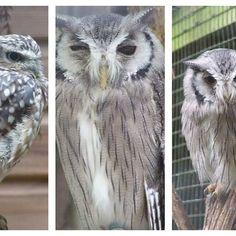 owls :) Conservation, Owls, Photographs, Wildlife, Birds, Illustration, Nature, Instagram Posts, Animals
