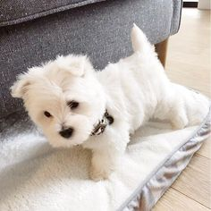Cute West Highland White Terrier puppy - Cute and Fuzzy - Puppies Perro Fox Terrier, Fox Terriers, West Terrier, West Highland White Terrier, Westie Puppies, Tiny Puppies, Terrier Puppies, Cute Dogs And Puppies, Cutest Dogs