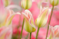 "Tulipa ""Floriosa"""