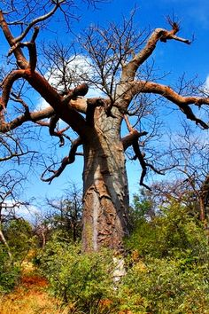 Baobab trees are a miracle of resilience