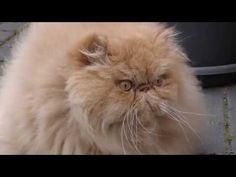 4K - Persian cat fotomodel - Persian cat for walking -  Pets - Perser Ka...