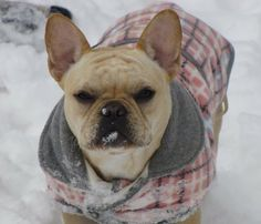 Biscuit my French Bulldog enjoying the snow in Texas.