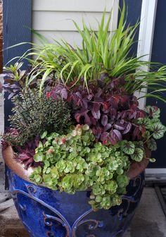 Great mixed container  1. Daphne (Daphne houtteana, USDA Zones 6-9)2. Hebe (Hebe anomala Nana Purpurea, USDA Zones 7-10)3. Sizzling Pink fringe flower (Loropetalum chinense Sizzling Pink, USDA Zones 7-9)4. Big Red hens & chicks (Sempervivum Big Red, USDA Zone 4)5. Fuldaglut stonecrop (Sedum spurium Fuldaglut, USDA Zones 4-8)6. Green Spice coral bells (Heuchera Green Spice, USDA Zones 3-8)7. Japanese forest grass (Hakonechloa macra, USDA Zones 5-9)