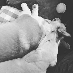 Good night moon. #LennonandHank #brothers #corgi #corgidor #corgisofinstagram #corgidorsofinstagram #pacificnwpups #pnwpups #goodnightmoon #sweetdreams by pacificnwpups