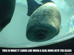 This Is What It Looks Like When A Seal Runs Into The Glass