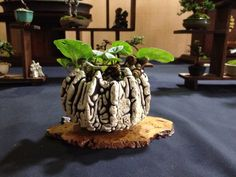 Heathrow bonsai show 2014 / Potter: Roman Husmann / For more details: https://andysbonsai wordpress.com