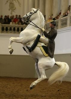 A Lipizzaner horse of the Spanish Riding School of Vienna jumps during a show rehearsal in Vienna, Austria.