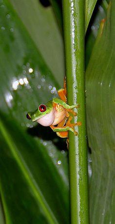 Red-eyed Tree Frog - night shot at Nicuesa.
