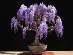 Wisteria bonsai, tree, Japan, Nature                                                                                                                                                                                 More