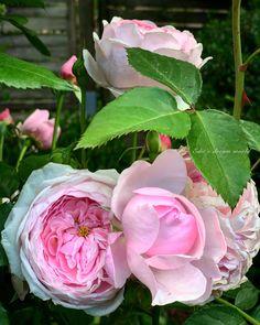Pink Garden, Decoupage, My Photos, Bloom, Wreaths, Florals, Plants, Cottage, Beautiful