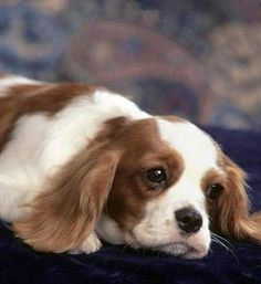 I'm going to own a King Charles Spaniel someday