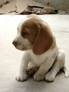 Looks like a Beagle Puppy!