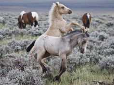 Wild Horse Babies Playing, Wyoming, Usa Photographic Print by Larry Ditto - Pferde - All The Pretty Horses, Beautiful Horses, Animals Beautiful, Baby Horses, Wild Horses, Draft Horses, Wild Mustang Horses, Farm Animals, Cute Animals