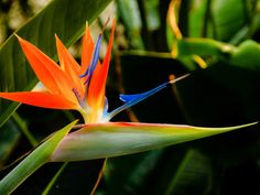 bird of paradise plant | Strelitzia reginae - Bird of Paradise | World of Flowering Plants