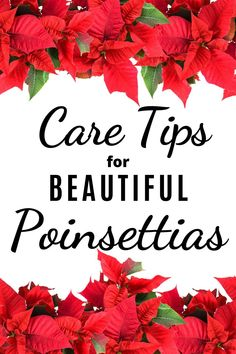 An easy year-round plan to keep your poinsettia plant healthy and encourage beautiful blooms in time for the holidays. House Plant Care, House Plants, Organic Gardening Tips, Indoor Gardening, Easy Care Houseplants, Poinsettia Plant, Planting For Kids, Large Flower Pots, Vertical Garden Diy