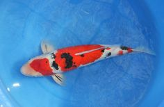 kloubec sanke Koi For Sale, Fish, Pets, Animals, Beauty, Animales, Animaux, Pisces, Animal