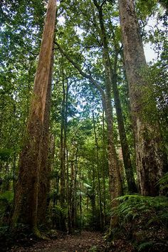 Things to see and do in Waipoua Forest, North Island, New Zealand. Home of the oldest and largest Kauri Trees.