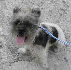 """8/22 STILL THERE!!! """"NAT"""" (#A1716973) I am a male white and black Terrier mix. The shelter staff think I am about 3 years old. I was found as a stray and I may be available for adoption on 08/23/2015. Miami Dade https://www.facebook.com/urgentdogsofmiami/photos/pb.191859757515102.-2207520000.1438982601./1024696627564740/?type=3&theater **PLS HELP SHARE/SAVE THIS BABY FROM THIS HELL HOLE HIGH KILL SHELTER!!!**"""