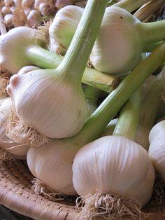 Green Elephant Garlic