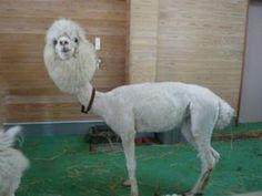 If you're feeling down, here's a picture of a shaved llama. try not to laugh haha Haha Funny, Funny Cute, Funny Memes, Funny Stuff, Memes Humor, Hilarious Jokes, Funny Shit, Funny Things, Crazy Things